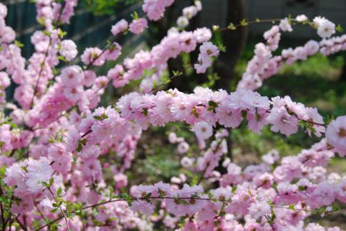 0905sakura3.JPG